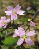 bloem winterpostelein