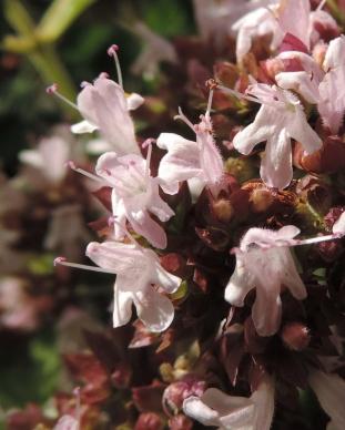 bloemen-wilde-marjoleinmarjolein-2