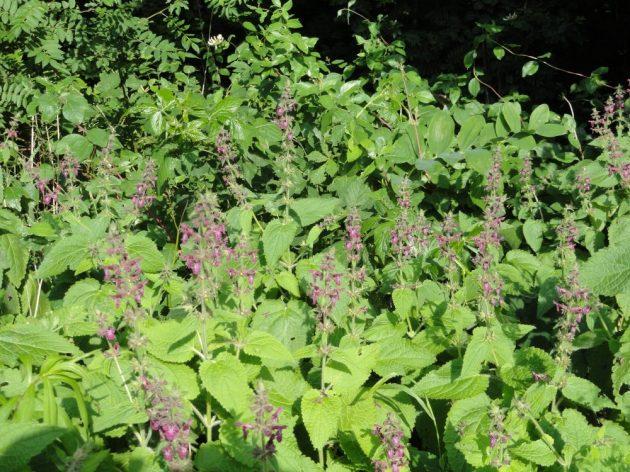 plant bosandoorn