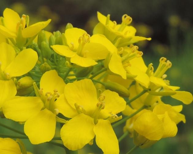 bloeiend koolzaad