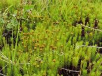 jonge vegetatie dopheide 11