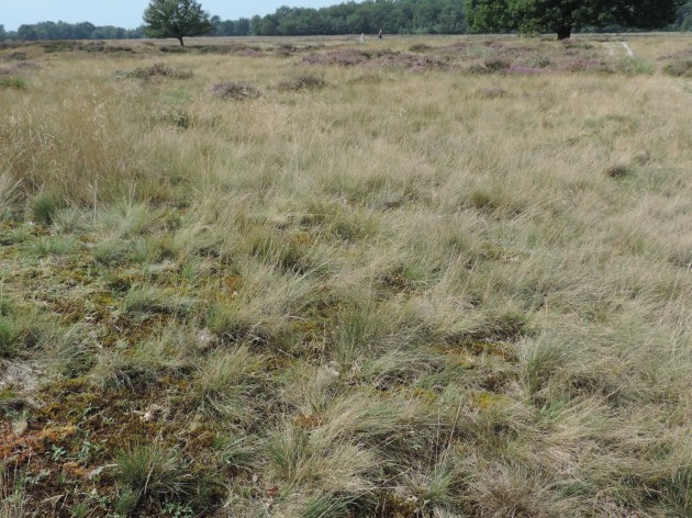 schapen gras op een heide veld