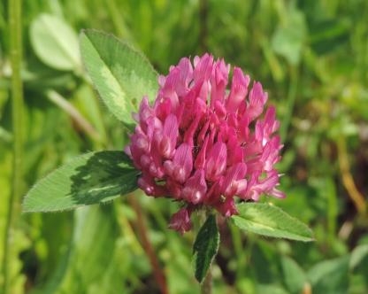 Trifolium pratense bloeiend