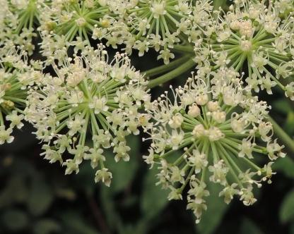 engelwortel fragment bloem (3)