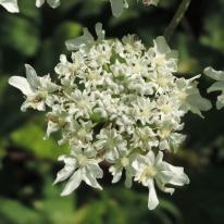 bloemen berenklauw (10)