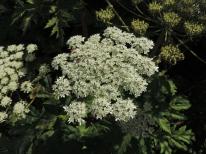 bloemen berenklauw (11)