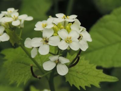 Alliaria petiolata (1)